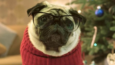 Star of the Vision Direct Christmas advert, Gizmo the pug