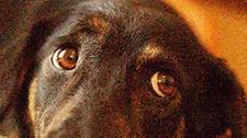 DogtherapycouldleadtohumanRPtreatmenttrials