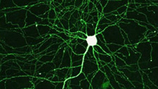 Promise for regenerating damaged neurons in glaucoma