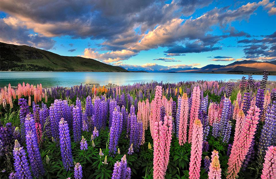 Lupines on the shore of Lake Tekapo in New Zealand