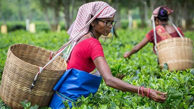 Indian tea pickers