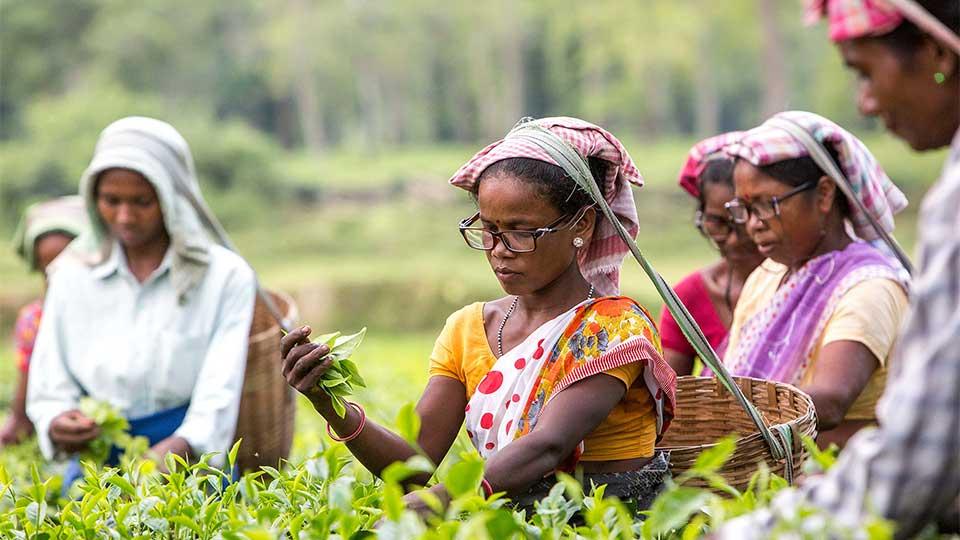 Indian tea pickers