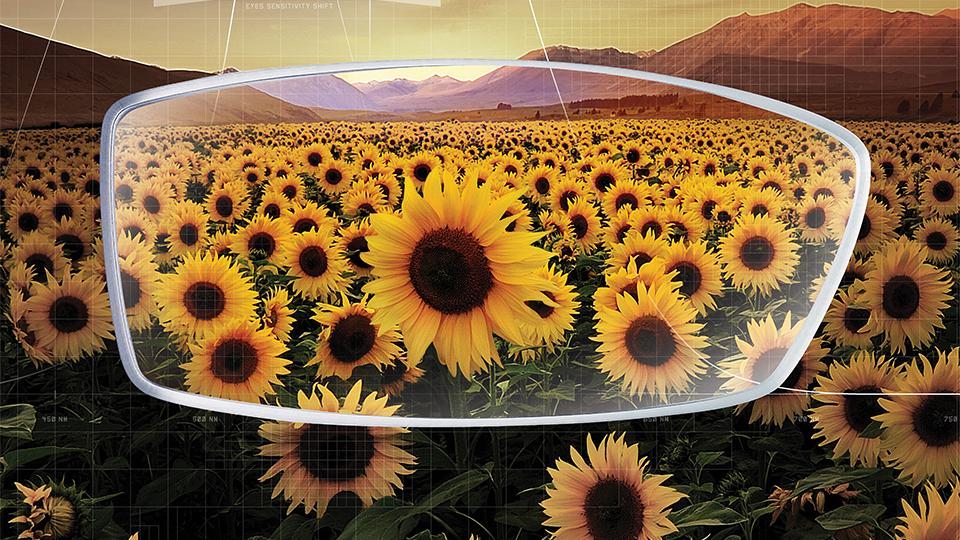 Nikon sunflowers