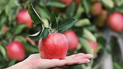 apple in the palm of a hand