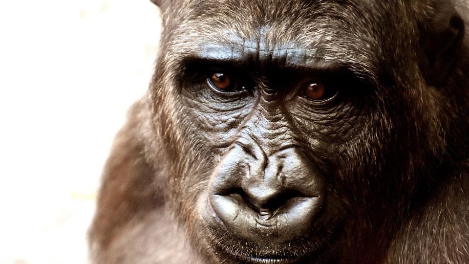 Gorilla receives cataract surgery at San Diego zoo